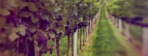 Arpenter les parcelles du vignoble parisien