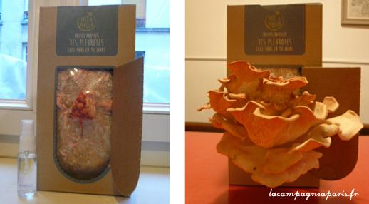 Evolution de la pousse des pleurotes roses